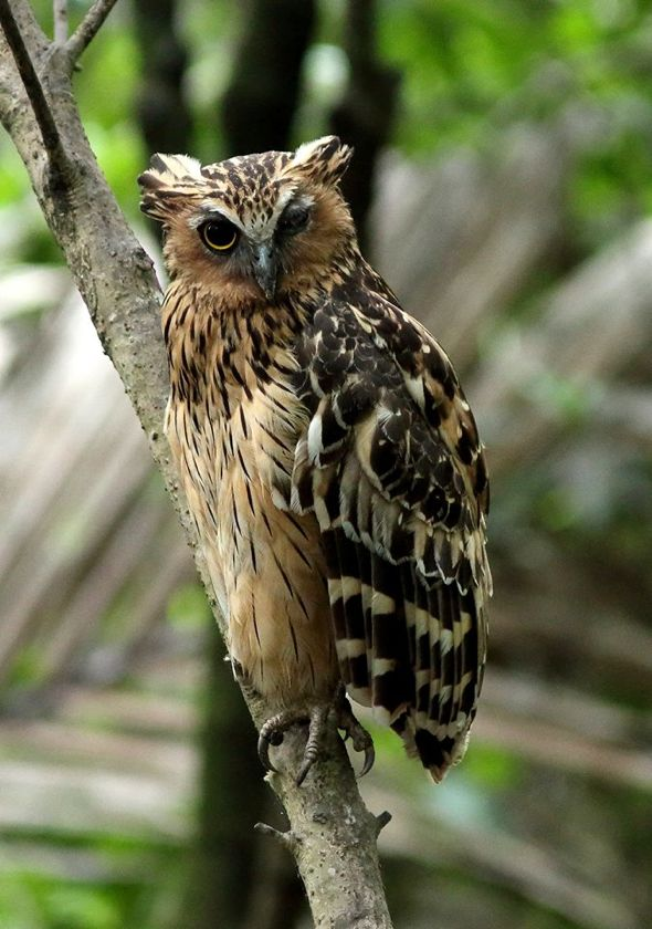 Encounter with a one eyed buffy fish owl bird ecology for One eyed fish
