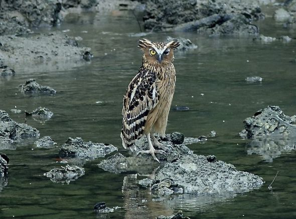 Encounter with a one-eyed Buffy Fish-owl