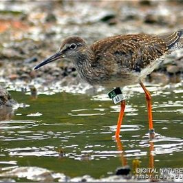 Sightings of engraved colour flags on shorebirds