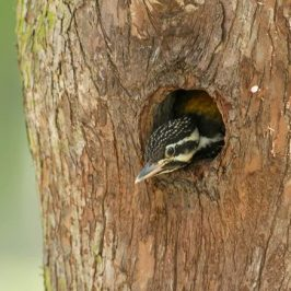 Common Flameback duetting at nesting hole