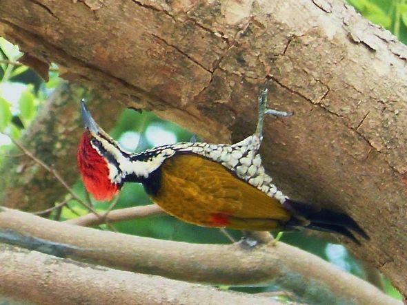 Common Flameback 'anting' – but using tree sap