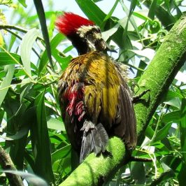 Common Flameback preening