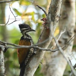 Common Flameback anting using tree sap
