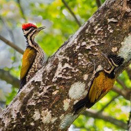 Common Flameback confrontations