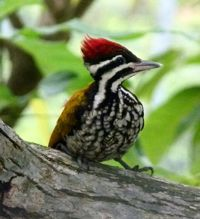 Innocent Juvenile Common Flameback