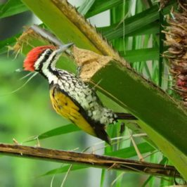 Common Flameback feeding on Oil Palm fruits