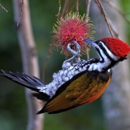 Common Flameback feeding on rambutan