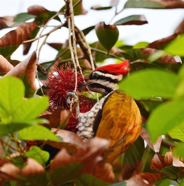 Common Flameback feeding on rambutan: Addendum