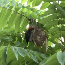 Scarlet-backed Flowerpecker: 6. Pre-egg laying days