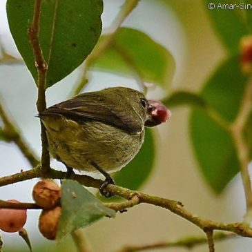 Birds feeding in a Ficus benjamina  tree