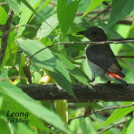 SCARLET-BACKED FLOWERPECKER FRUIT PLUCKING