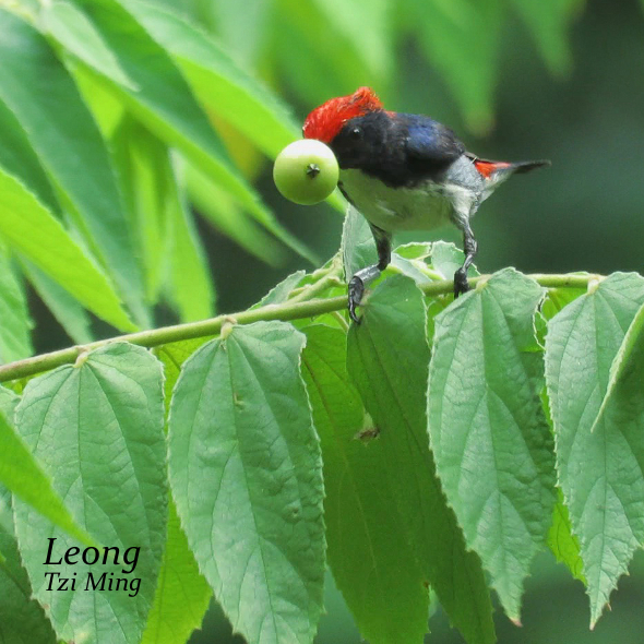 S-b Flowerpecker Male