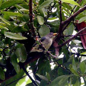 TỨ TUYỆT HOA  - Page 3 FlowerpeckerSB-Viscum-fr-FrancisLim