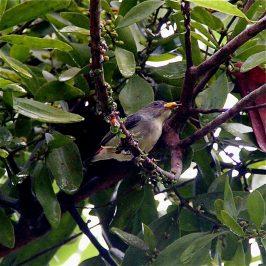 Scarlet-backed Flowerpecker taking <em>Viscum ovalifolium</em> fruits