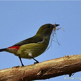 Scarlet-backed Flowerpecker collecting nesting material