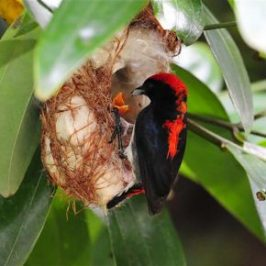 Scarlet-backed Flowerpecker nesting at Pasir Ris