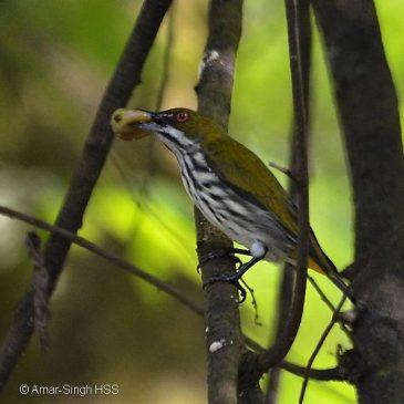Muntingia calabura and the feeding behaviour of flowerpeckers