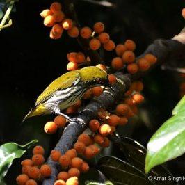 Yellow-vented Flowerpecker takes <em>Ficus villosa</em> syconia
