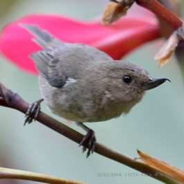 Slaty Flowerpiercer's feeding strategy to steal flower nectar
