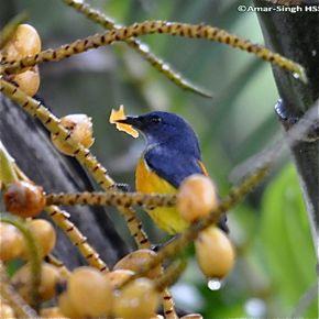 Orange-bellied Flowerpecker eating palm fruit