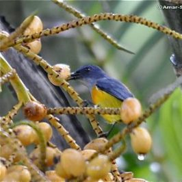 Orange-bellied Flowerpecker eating palm fruit