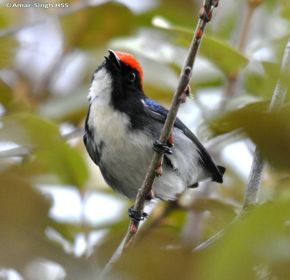 Call of the Scarlet-backed Flowerpecker