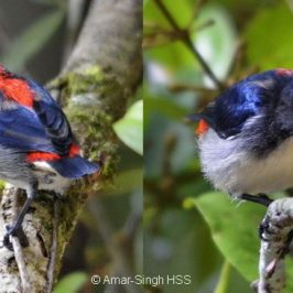Scarlet-backed Flowerpecker feeding on fruits of <em>Scurrula</em>