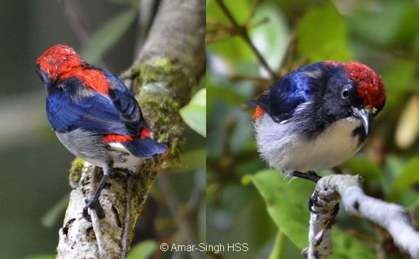 Scarlet-backed Flowerpecker feeding on fruits of <em>Scurrula</em>