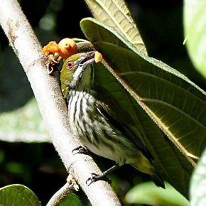 Ficus villosa and birds