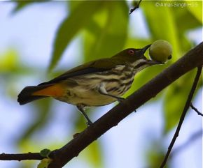 Yellow-vented Flowerpecker and fruits of <em>Muntingia calabura</em>