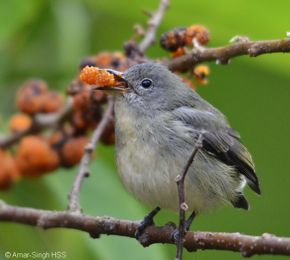 Fire-breasted (Buff-bellied) Flowerpecker – female fruit feeding
