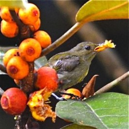 Ficus consociata: 2. Crimson-breasted Flowerpecker