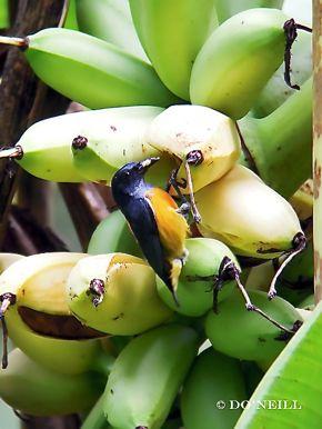 © Go Bananas With Wild Birds at Sepilok - N. Borneo