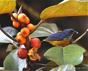 Ficus consociata: 1. Orange-bellied Flowerpecker