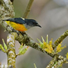 Orange-bellied Flowerpecker taking nectar from mistletoe
