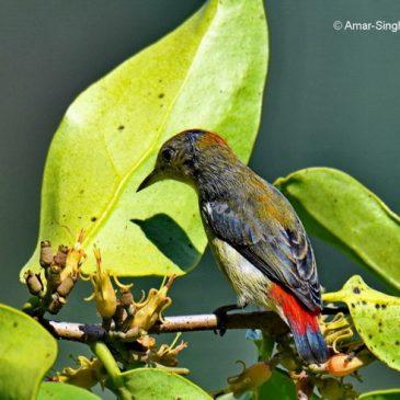 Scarlet-backed Flowerpecker – immature male and mistletoe
