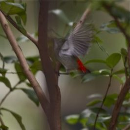 Female Scarlet-backed Flowerpecker collects tiny bits of bark