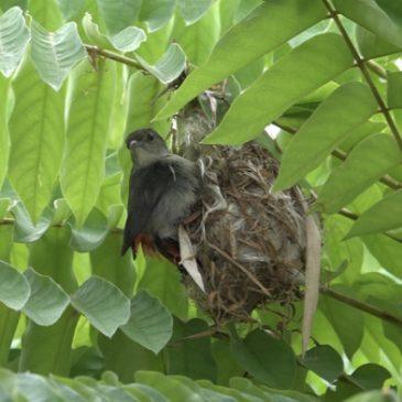 Scarlet-backed Flowerpecker: 8. Is the female incubating her egg?