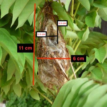 Scarlet-backed Flowerpecker: 10. Nest