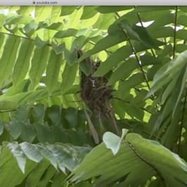 Scarlet-backed Flowerpecker: 3. Nest taking shape