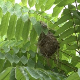 Scarlet-backed Flowerpecker: 3. Nest taking shape