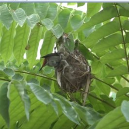 Scarlet-backed Flowerpecker: 5. Finishing touches to the nest