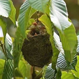 Scarlet-backed Flowerpecker nesting