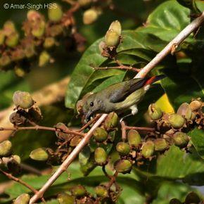 Scarlet-backed Flowerpecker foraging in <em>Lagerstroemia</em> tree