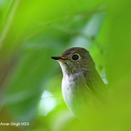 Asian Brown Flycatcher – fruit feeding