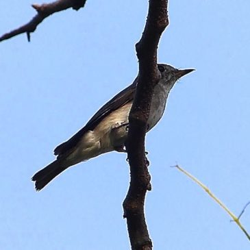 Sunbird, Bee And the Drumstick Tree