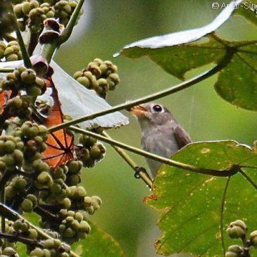 Asian Brown Flycatcher – fruit feeding (frugivorous behaviour)