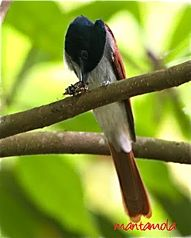 Asian Paradise Flycatcher takes a cicada