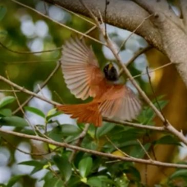 Animation of Blyth's Paradise Flycatcher catching an insect on the wing