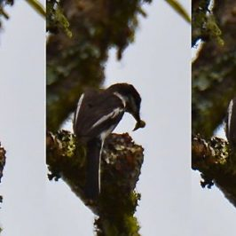 Bar-winged Flycatcher-shrike – nest sanitation